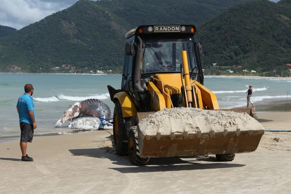 Retroescavadeira reboca corpo de baleia-jubarte na Praia do Pântano do Sul, em Florianópolis — Foto: Nilson Coelho/R3 Animal/Divulgação