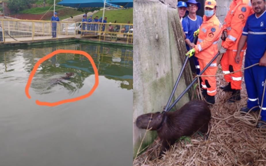 Capivara é resgatada de dentro de reservatório de estação do SAAE em São Lourenço, MG