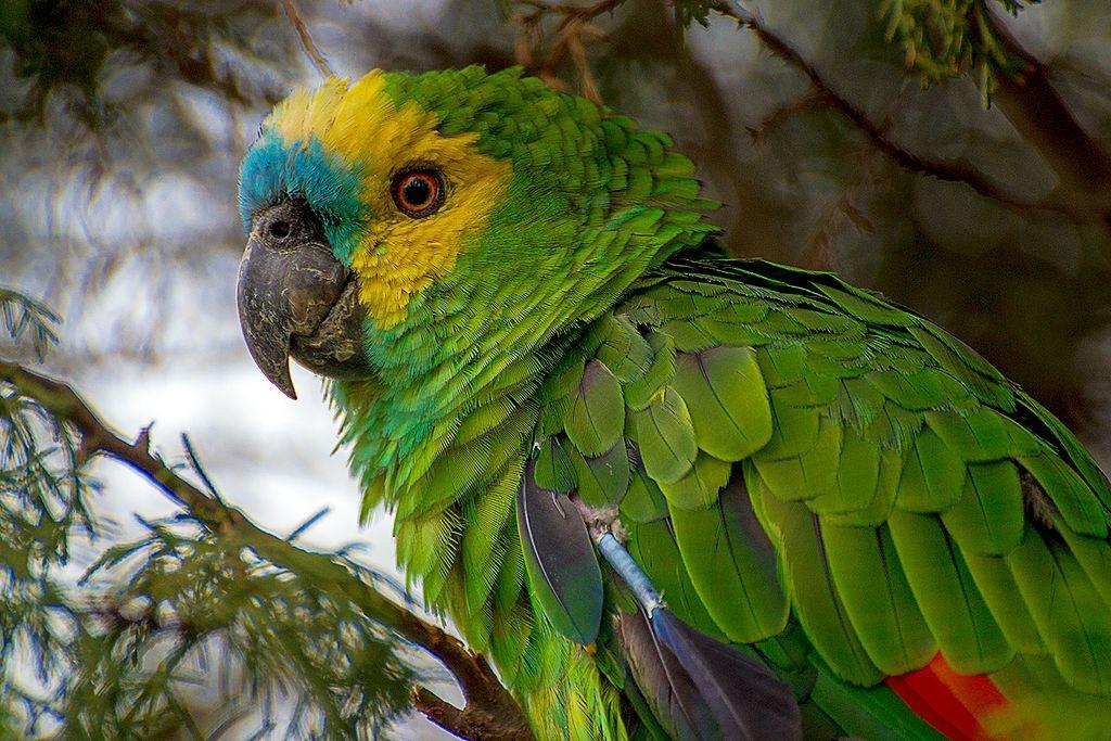 Criação do papagaio-verdadeiro só pode ser realizada com autorização (Foto: Jairmoreirafotografia/ Wikimedia Commons)