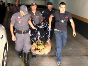 Lobo-guará é capturado em edifício no Jardim das Paineiras,em Campinas (Fot Rodrigo Ensinas)