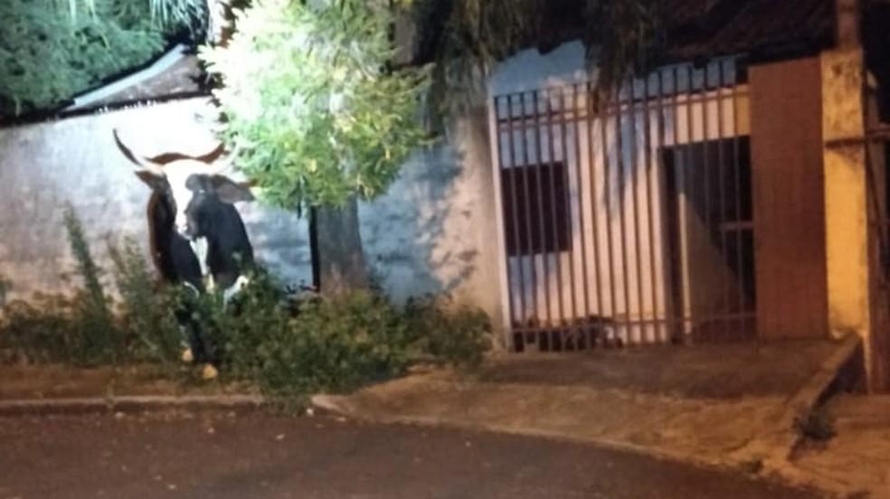 Touro foi visto passeando por Cambé por volta das 21h de sábado — Foto: Junior Fontana/Arquivo Pessoal