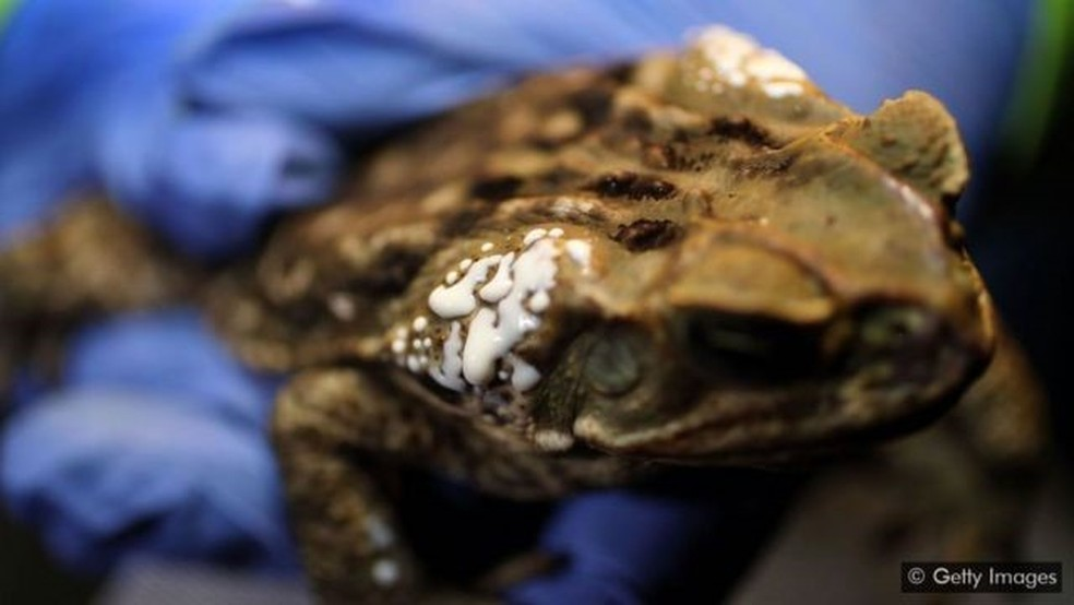 O sapo-cururu secreta sua perigosa bufotoxina por meio das glândulas atrás de sua cabeça — Foto: Getty Images via BBC