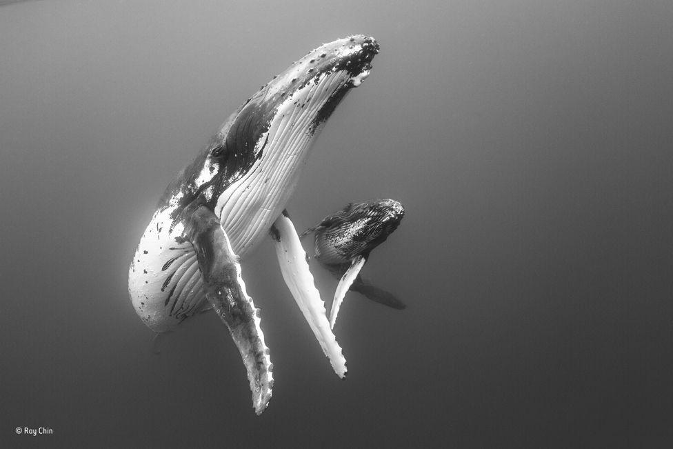 Imagem realizada em Tonga, na Oceania, exibe a migração de baleias  (Foto: RAY CHIN / NATURAL HISTORY MUSEUM)