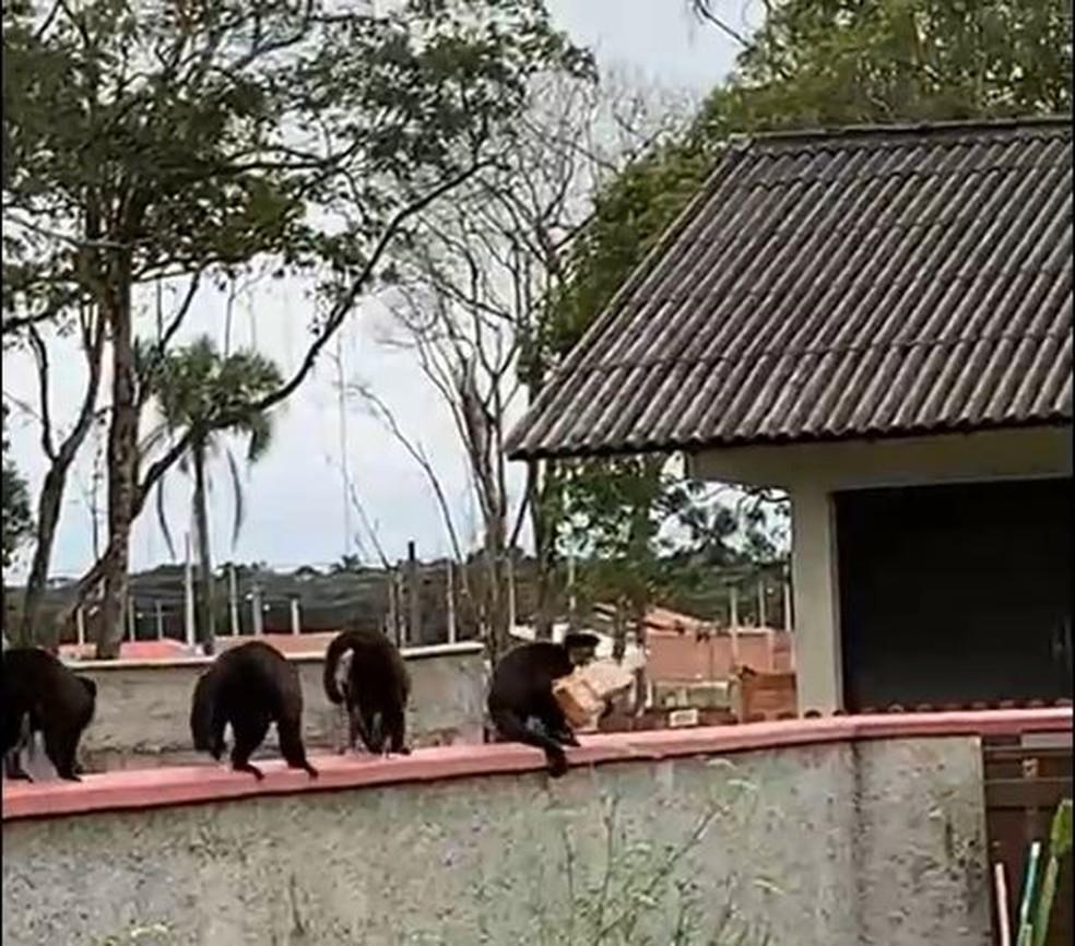 Macacos 'furtam' pão em São Francisco do Sul — Foto: Mateus Fernandes/Arquivo pessoal