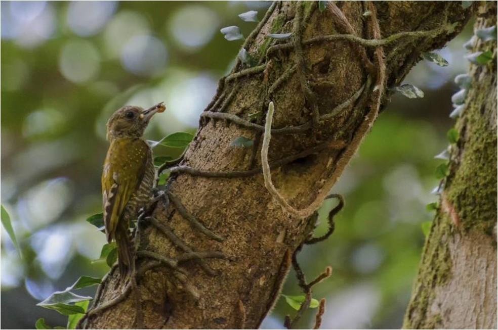 Picapauzinho-anão (Veniliornis passerinus) nidifica em palmeiras e galhos secos  (Foto: Alexandre Carvalho/VC no TG)