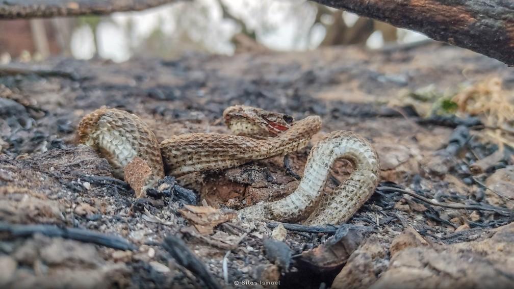 Cobra não consegue escapar de incêndio no Pantanal de Mato Grosso do Sul. — Foto: Silas Ismael/Arquivo Pessoal