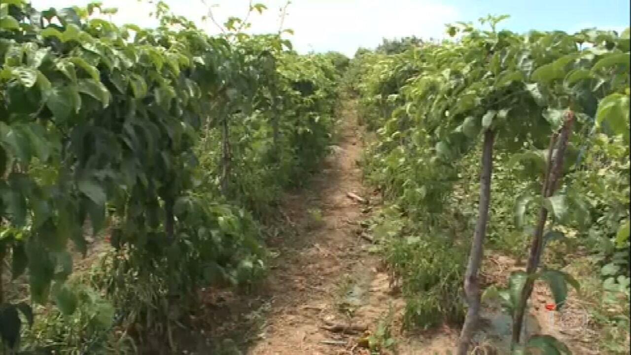 Chuva impulsiona plantação no sertão da Paraíba no período de estiagem