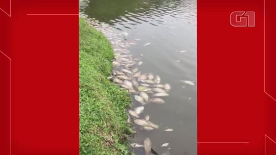 Frio causa mortes de centenas de tilápias na Lagoa do Violão, em Torres