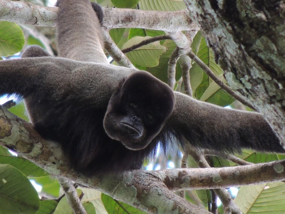 Macaco-barrigudo: desmatamento pode resultar no desaparecimento de um dos maiores primatas da Amazônia. — Foto: Thiago Cavalcante/Arquivo pessoal