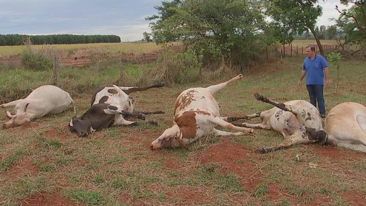 Raio atinge fazenda e mata 10 vacas e bezerros no interior de São Paulo - G1