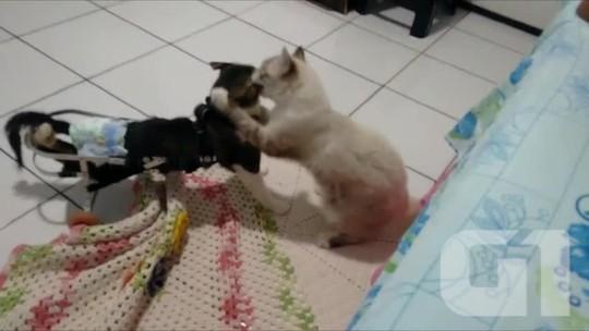 Gato atropelado se locomove com ajuda de cadeira de rodas no Piauí