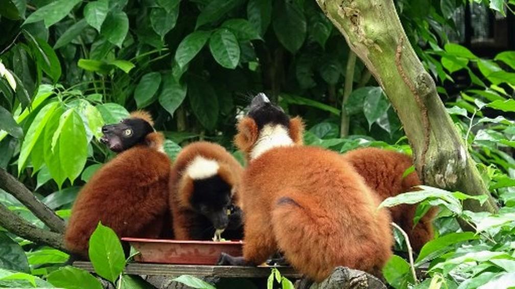 Filhotes de lêmure gêmeos nasceram no zoológico de Singapura — Foto: Divulgação/Wildlife Reserves Singapore/AFP