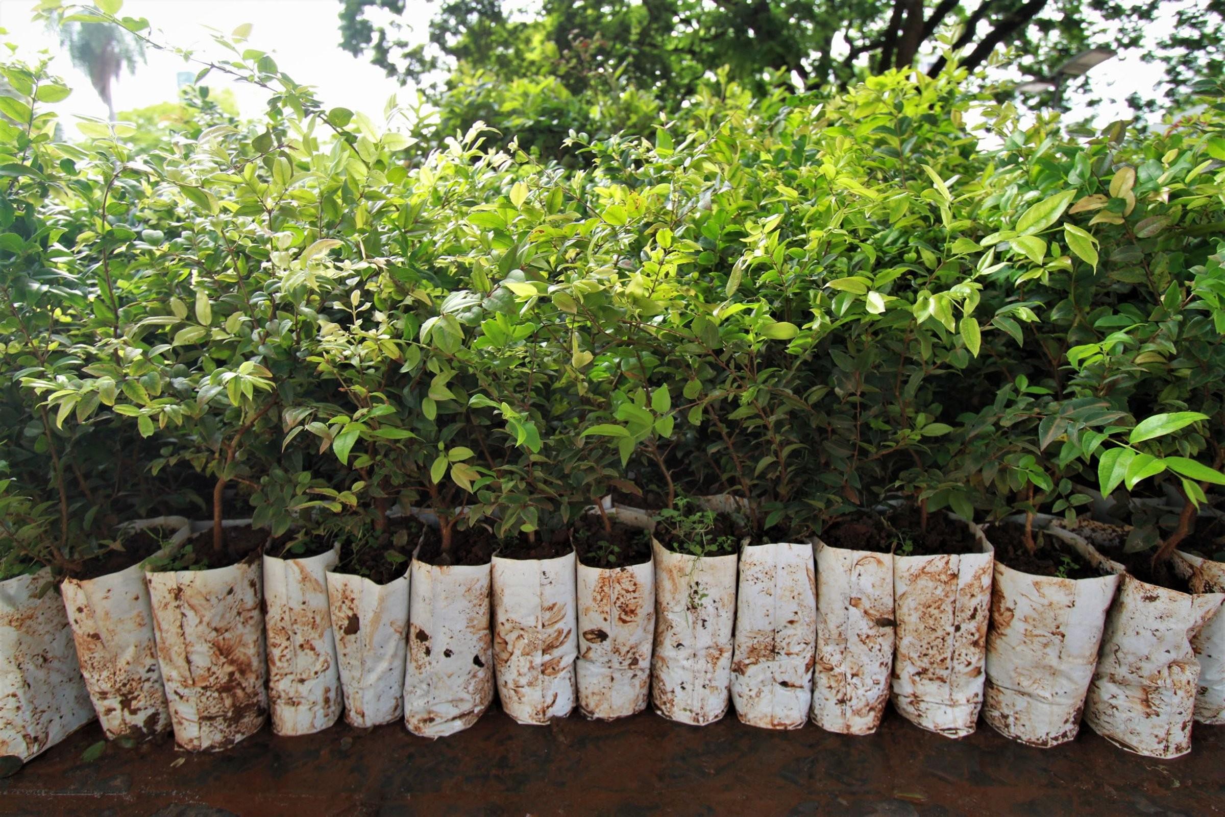 Mudas de árvore para plantio em casa podem ser solicitadas na Prefeitura de Carmo do Cajuru