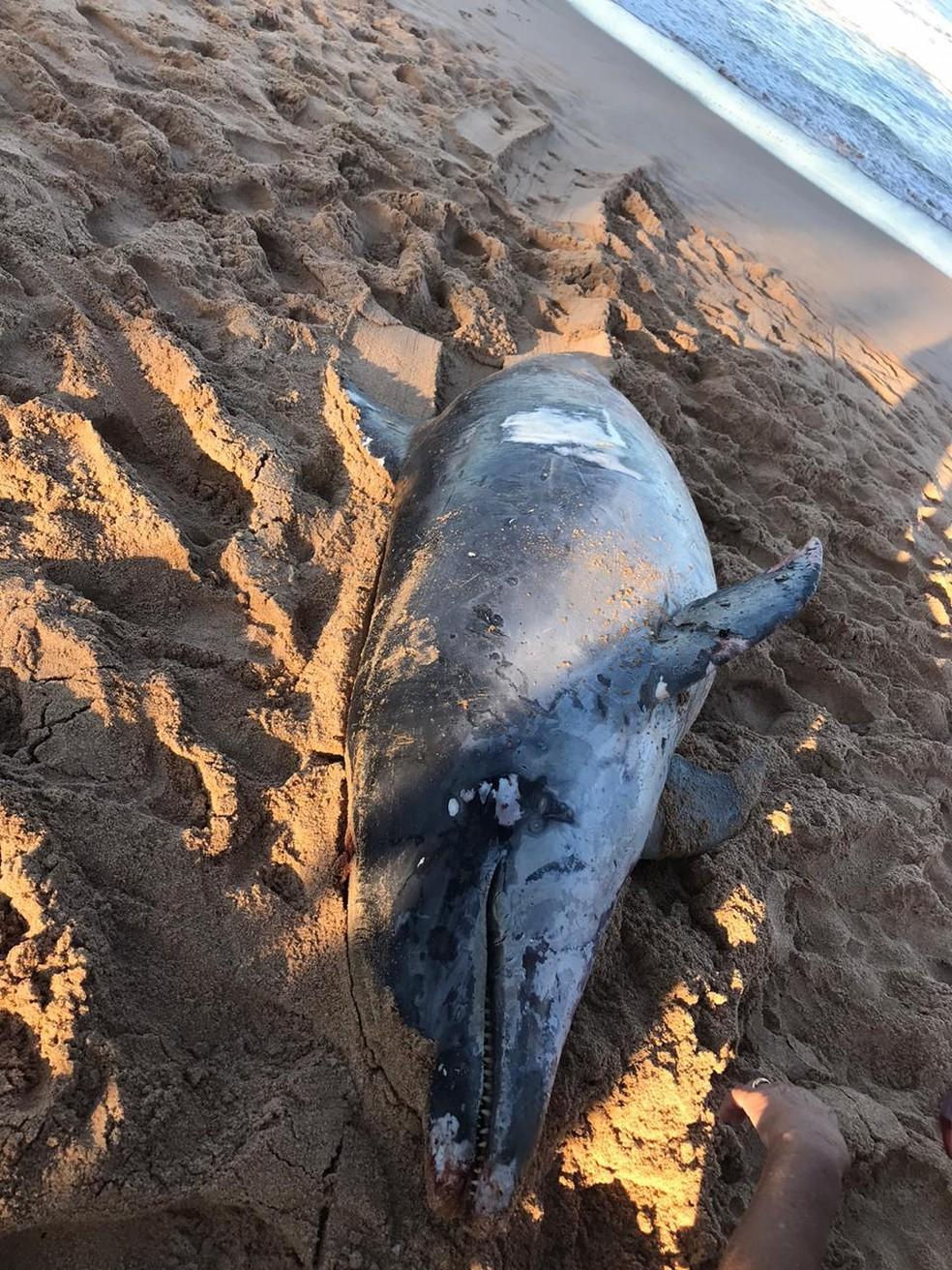 O golfinho estava sem a calda. A Prefeitura acredita que o animal tenha se enrolado em uma rede de pesca e consequentemente tendo a calda decepada — Foto: Prefeitura de Búzios.