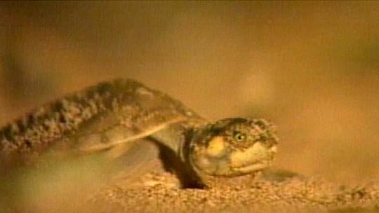 Quase 1 milhão de Tartarugas-da-Amazônia são soltas no maior quelônio da América do Sul