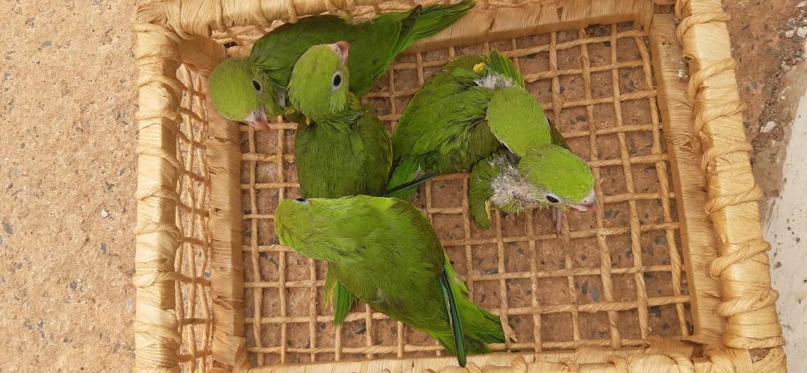Mulher é detida ao ser flagrada com sete aves silvestres dentro de carro em Cuiabá