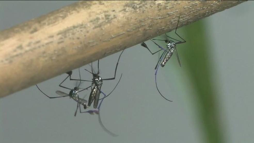 Transmissão da febre amarela pode ser feita por diferentes mosquitos. (Foto: globonews)