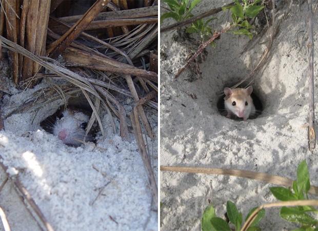 Roedores da espécie 'Peromyscus polionotus' aparecem na entrada de túneis escavados na areia (Foto: Divulgação/J.B. Miller/Universidade Harvard/'Nature')