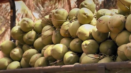 Trazida pelos portugueses, indústria do coco fatura mais de R$ 1 bi por ano