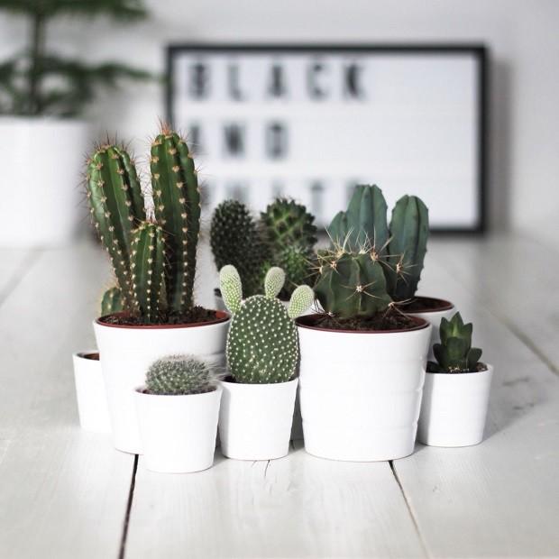 Mini cactos: como cuidar das suas plantinhas (Foto: Reprodução )