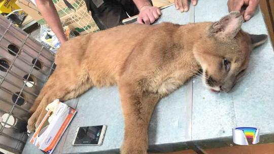 Filhote de onça é encontrado dentro de loja de ferramentas em Atibaia, SP