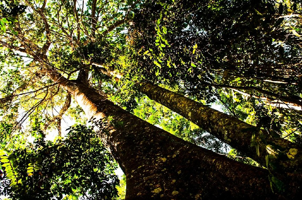 Uma única árvore gigante é capaz de sequestrar a mesma quantidade de carbono da atmosfera que 300 a 500 árvores pequenas — Foto: Marcos Vergueiro/Secom