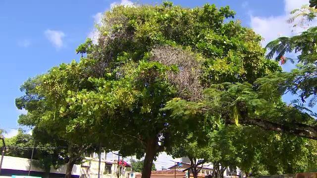Pesquisa identifica riscos com incidência de parasitos em cerca de 1 mil árvores no Centro de Macapá