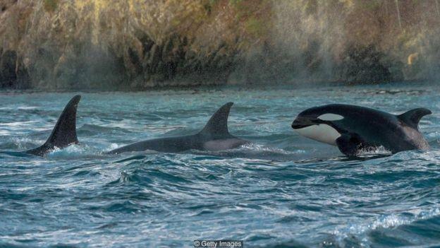 A orca está entre as poucas espécies de mamíferos que apresentam características de liderança feminina (Foto: Getty Images via BBC News Brasil)