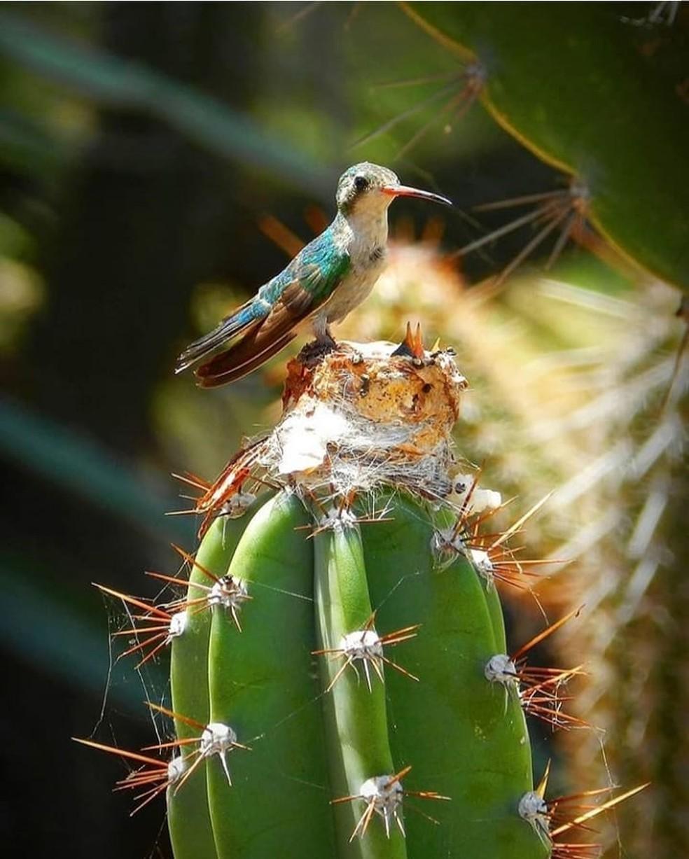 Fotografia de beija-flor sobre o cacto mostra ao artista a identidade da caatinga, a resistência da ave como a do próprio sertanejo — Foto: Miguel de Paula/Acervo Pessoal