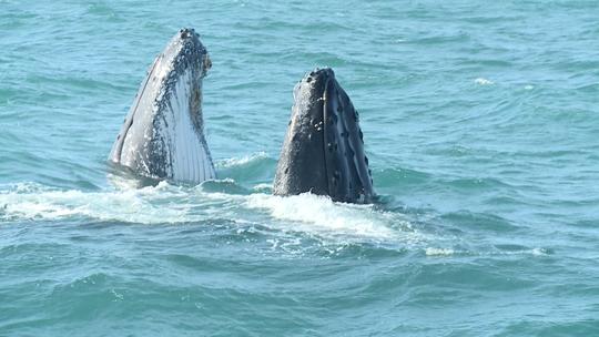 Embarque com o 'EMME' em alto mar para ver as baleias Jubarte
