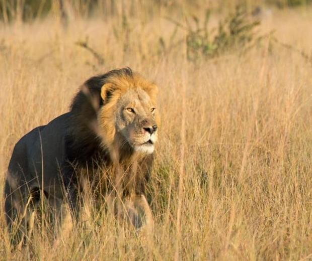 Leão Xanda (Foto: Bert Du Plessis)