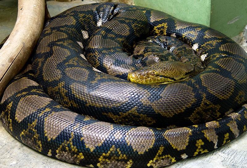 Píton-reticulada, uma das maiores cobras do planeta (Foto: Wikimedia Commons)