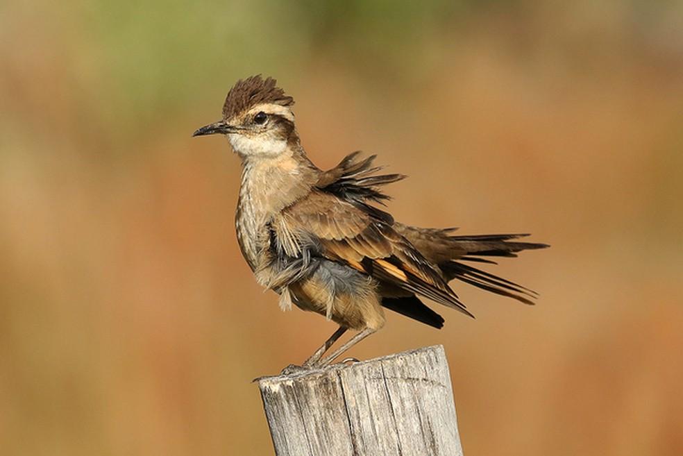 O pedreiro-do-espinhaço é um pássaro grande, com cerca de 22 centímetros de comprimento  — Foto: Leonardo Casadei/Arquivo Pessoal