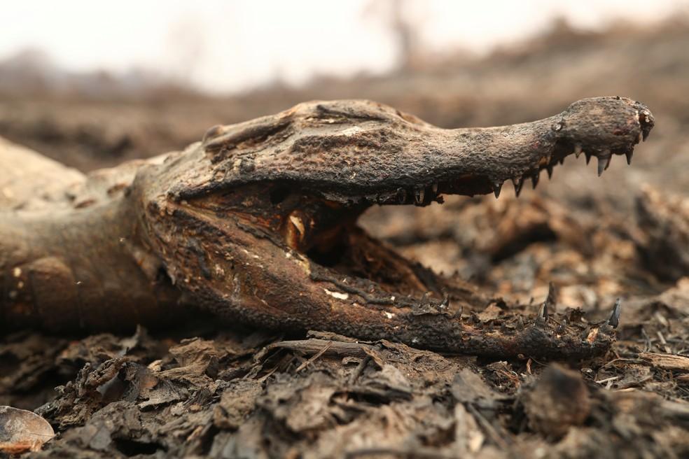 Foto mostra jacaré morto em uma área queimada do Pantanal em Poconé (MT), no dia 31 de agosto — Foto: Amanda Perobelli/Reuters
