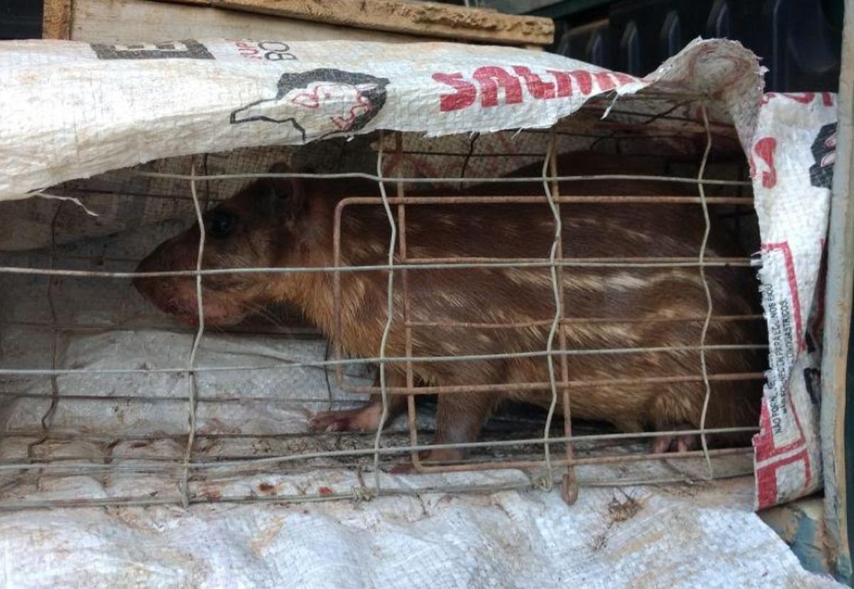 Polícia Ambiental resgata cinco pacas e um javali que estavam em cativeiro em Cambuci, no RJ