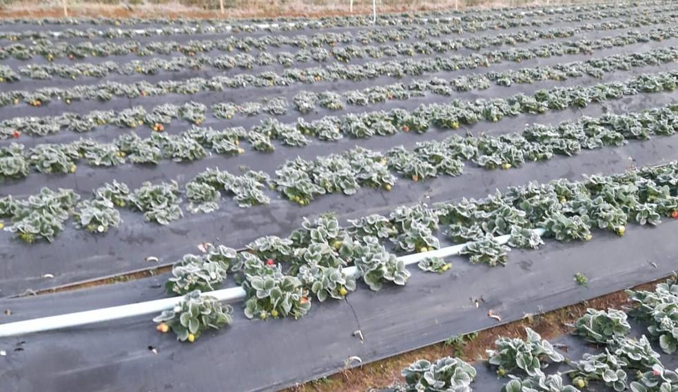 Frio intenso estraga plantação no bairro Sarapuí de Cima em Piedade (SP) — Foto: Arquivo pessoal