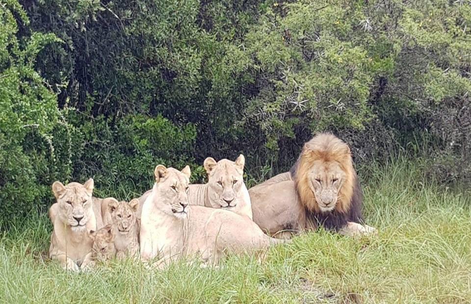 Grupo de leões que atacou os caçadores (Foto: Reprodução/Facebook)