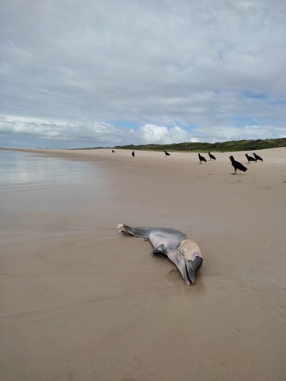 Filhote de golfinho é encontrado morto por moradores da região na Praia do Francês, em Marechal Deodoro — Foto: Instituto Biota