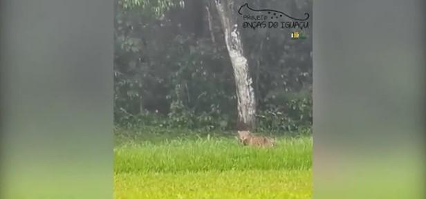 Onças-pardas são flagradas no Parque Nacional do Iguaçu