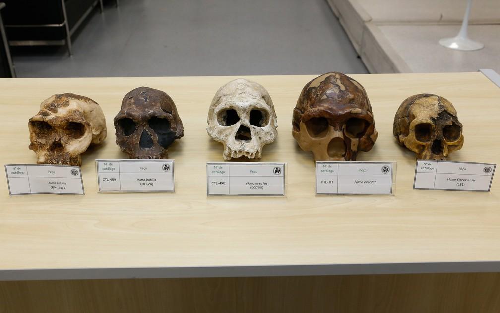 Crânios de tipos de homos mostram a diferença de tamanho entre eles. Da esquerda para a direita: dois crânios de homo habilis, seguido por dois crânios de homo erectus. Ao fim, um exemplar de homo florenziensis. — Foto: IEA/USP/Divulgação
