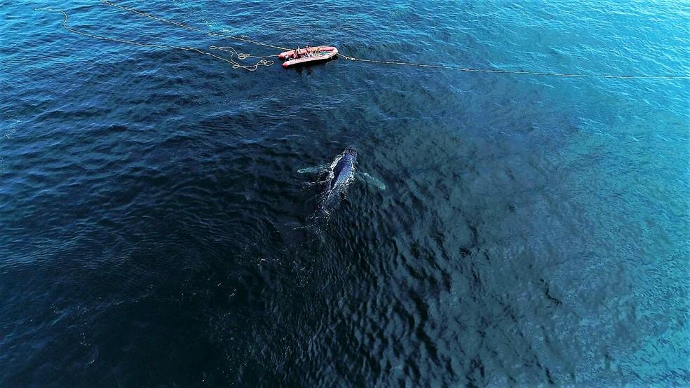 Baleia nada em direção ao mar aberto após ser desencalhada em Arraial (Foto: Marcelo de Lima/Arquivo Pessoal)