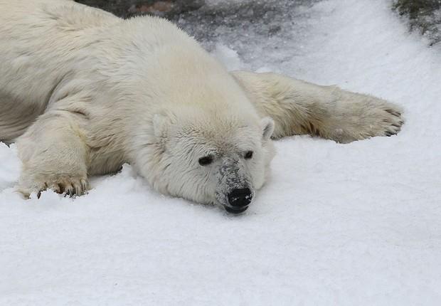 Urso polar aproveita neve no zoológico de São Francisco. Os animais estão entre os mais ameaçados pelo aquecimento global, especialmente porque o Ártico está esquentando acima da média global. Com o gelo derretendo mais cedo no verão e congelando mais tar (Foto: Getty Images)