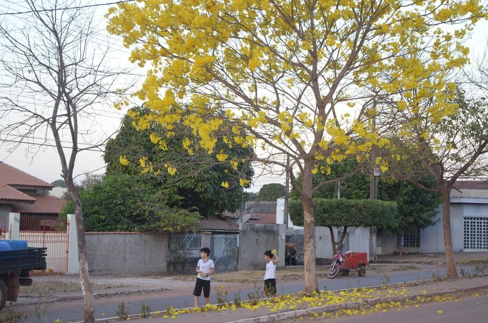 Ipês amarelos embelezam as ruas de Cacoal (Foto: Rogério Aderbal/G1)