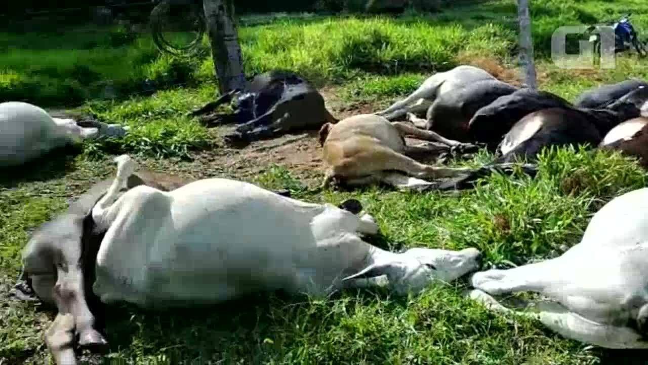 Raio mata 34 cabeças de gado em Cacaulândia, ro