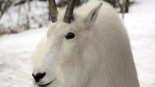 O Deserto de Carcross abriga uma variedade de vida selvagem, incluindo ovelhas e cabras da montanha (Foto: MIKE MACEACHERAN - BBC news)