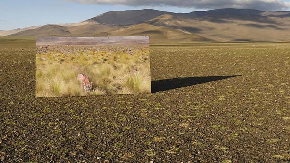 Os pumas mudaram o cenário dos altiplanos na Argentina — Foto: Passion Pictures/BBC