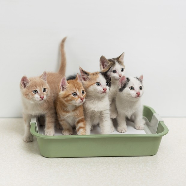 Little kittens sitting in cat toilet (Foto: Getty Images/iStockphoto)