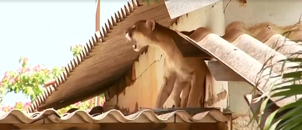 Onça ficou agitada ao ser atingida por dardo em Jales — Foto: Reprodução/TV TEM