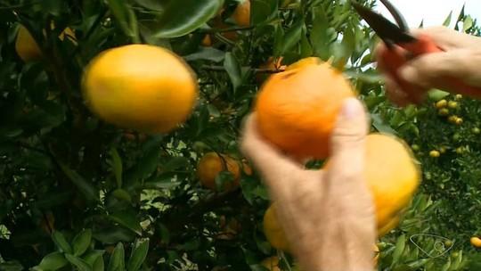 Produtores esperam colheita de tangerina 20% maior em 2018, em Conceição do Castelo, ES