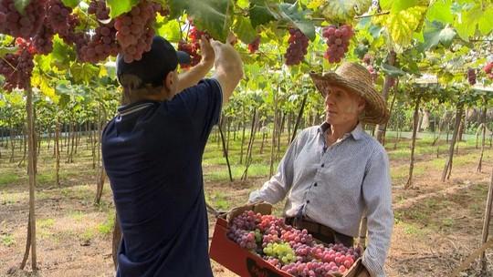Produtor do Noroeste do RS investe em sistema usado na Serra e vê qualidade das uvas aumentar